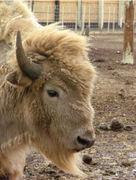 The  Sacred White Buffalo - TATANKA