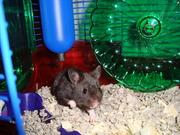 my new hamster molly