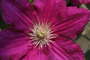 My Clematis