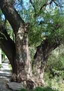 Mexico-Old Willow Tree