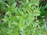 Mexican basil