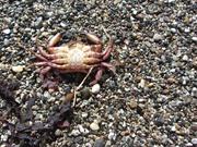 Crab, Kelham Beach, Point Reyes