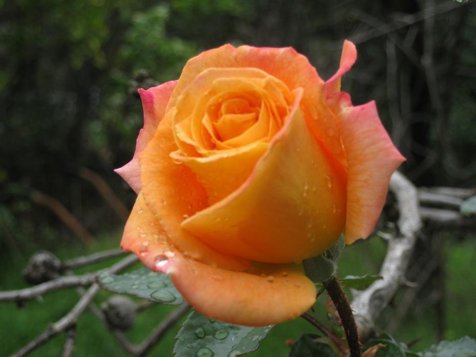 Rain drops on a Rose