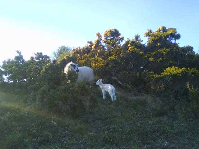 Lambs hiding in spring gorse