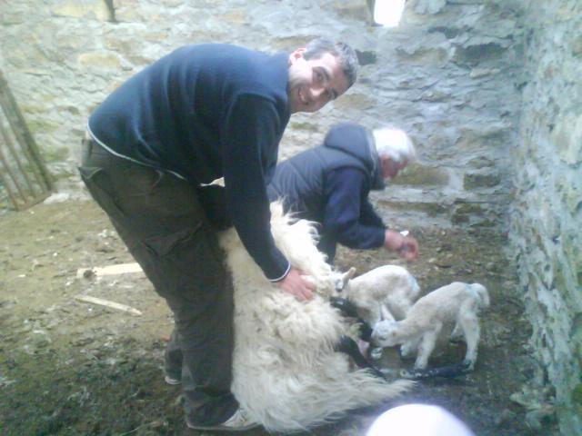 Milking ewes