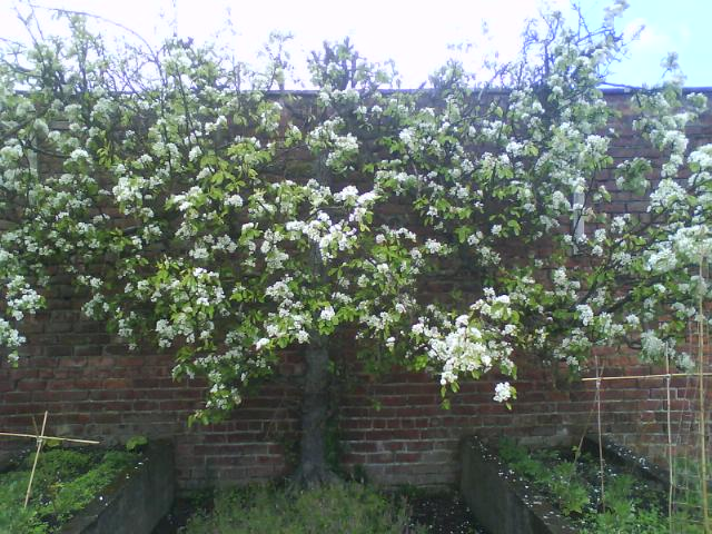 Pear tree in flower in Belmont primary school