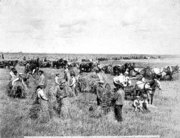 Harvesting on James J[1]. Hill farm at Northcote 1901