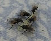 Ook vliegen vinden meloen lekker