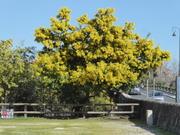 de mooiste mimosa van ceret