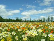 flores-do-campo1