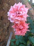 Minha rosa !!