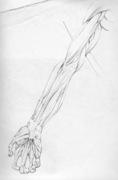 Cadaver Drawings