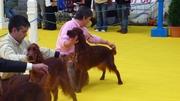 International Dog Show Asturias