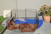 Puppies 09 062