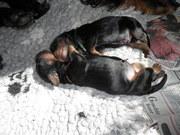 19 mei puppies Ailis en Nash 003
