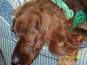 100_1565 Molly St Patricks Day 2011 2