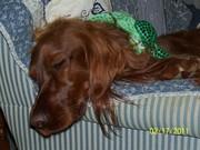 100_1566 Molly St Patricks Day 2011 3