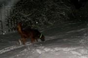 100_1633 Molly Snowy Walk in Back yard 3 26 2011