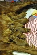 Indy Puppys