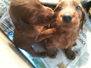 Forfarian pups at 5 weeks (2)