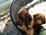 Forfarian Puppies at 5 weeks