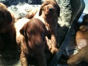 Forfarian Puppies at 5 weeks (2)