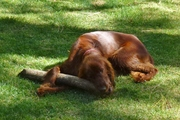 """Nugget with prize """"stick"""" from beaver dam"""
