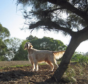 An English Setter has to do what an English Setter has to do