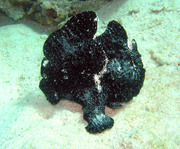 frogfish9