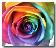 rainbow rose... my favorite