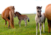 2 Icelandic mares and colts