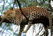 leopard-african-paradise-safaris
