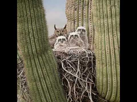 A Great Horned Mother Owl and her young