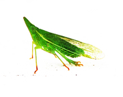 1cm leaf insect
