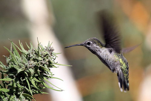 hummingbird cannabis