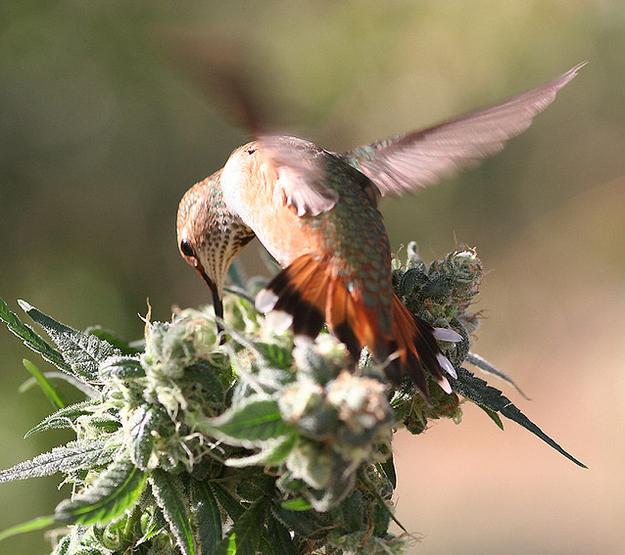 hummingbird enhanced-buzz