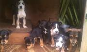 Pups4sale