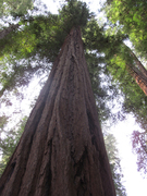 Huge Old Growth Tree, in California