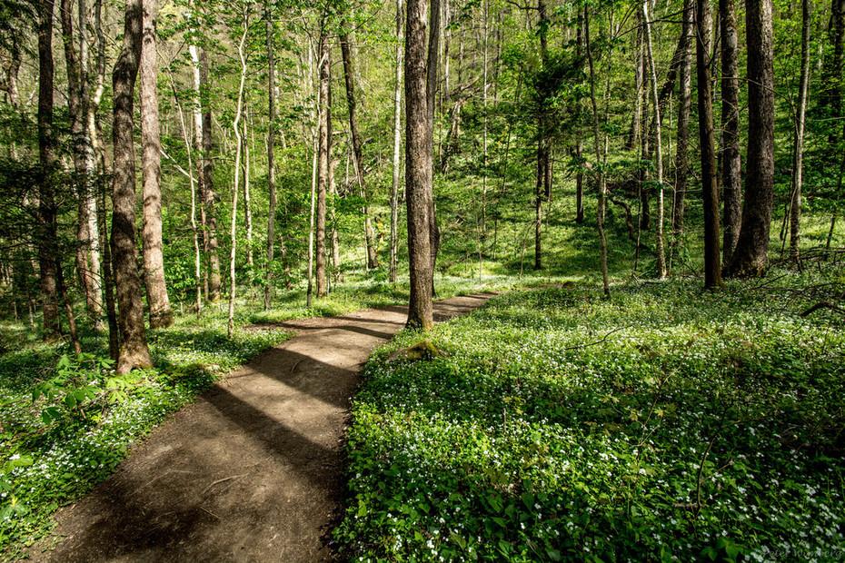 Porters Creek Trail, 4-11-19...phacelia