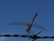 Bruinrode heidelibel