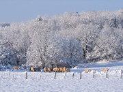 Koeien-in-sneeuw