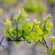 wijnrank lente