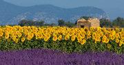 Lavendel en zonnebloemen in de Provence