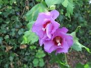 De hibiscus in volle bloei