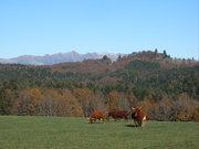 Salers koeien in de Cantal met uitzicht op de Puy de Sancy
