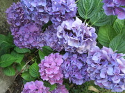 De bloeiende hortensia
