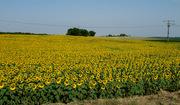 de eerste zonnebloemen
