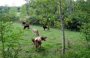 de koeien in Bonneval tarn et garonne