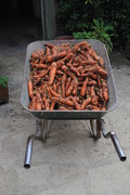 Carrots grown at Love a Locavore's Farm