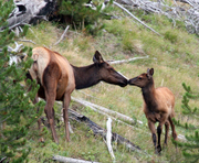 Elk Communication
